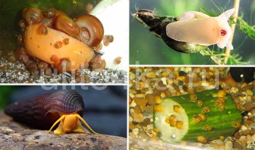 улитки в аквариуме