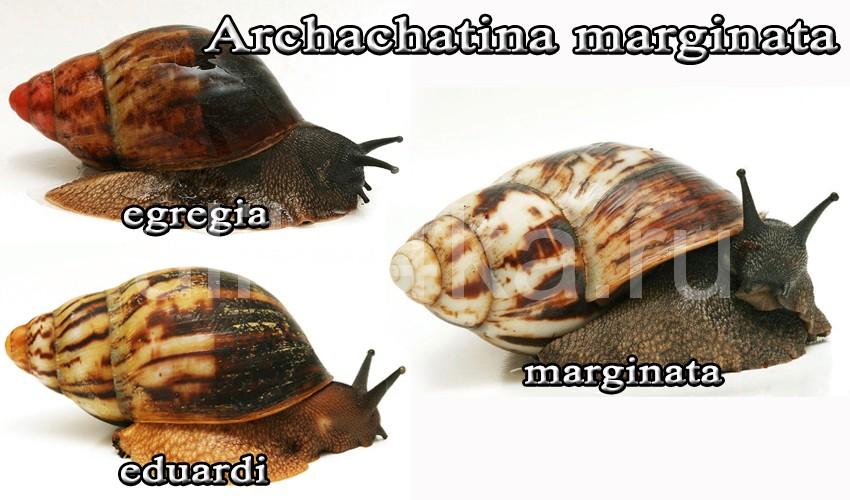 архахатина