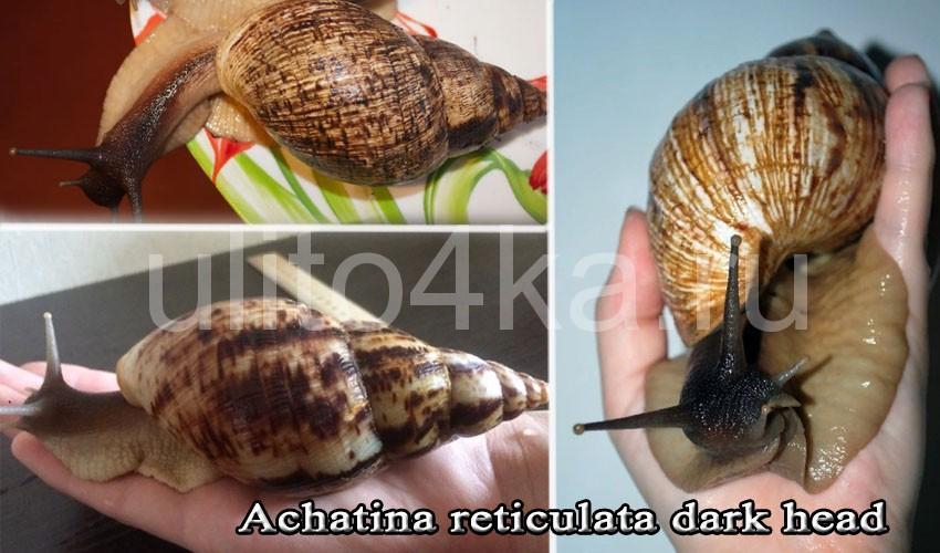 ахатина ретикулята