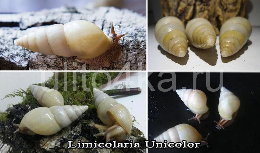лимиколярия униколор