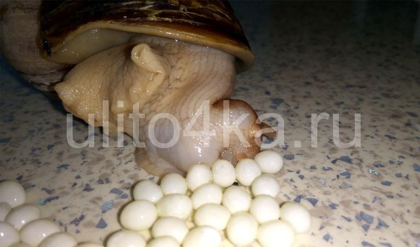 улитка откладывает яйца