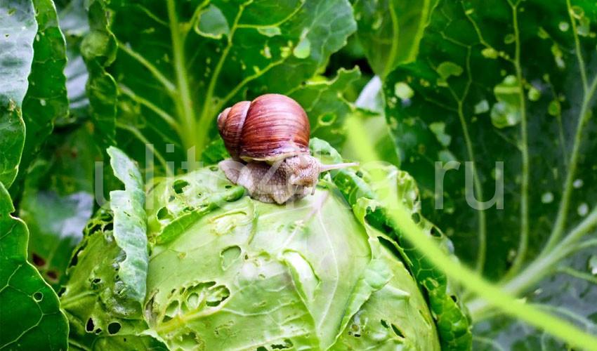 борьба с улитками на огороде