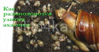 как размножаются улитки ахатины