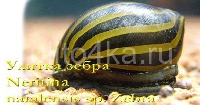 улитка зебра