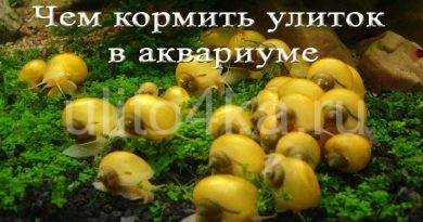 чем кормить улиток в аквариуме