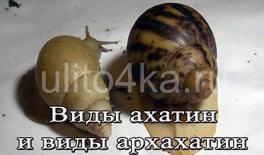 виды ахатины с фото