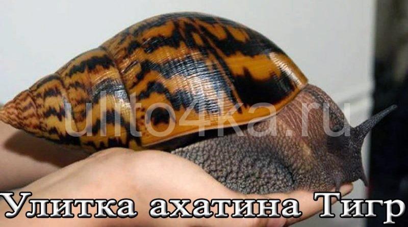 улитка ахатина тигр