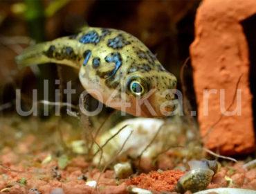 Какая улитка есть улиток в аквариуме, и прочие враги моллюсков